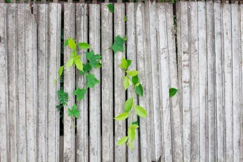 a neighbourhood fence with ivy growing
